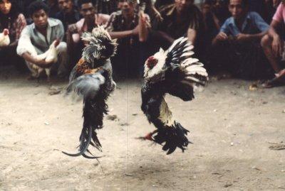 Geertz balinese cock fight